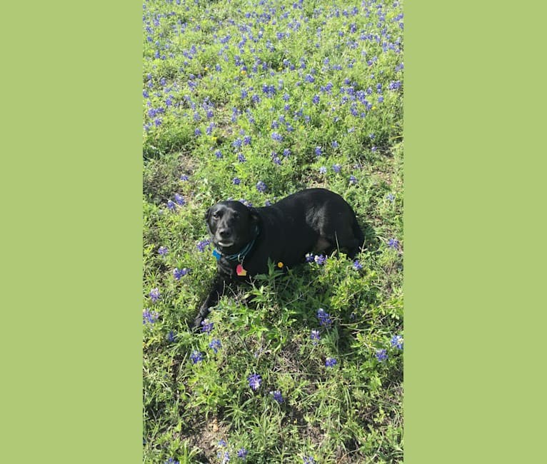 Photo of Jake, a Labrador Retriever, Chow Chow, and Australian Cattle Dog mix in Houston, Texas, USA