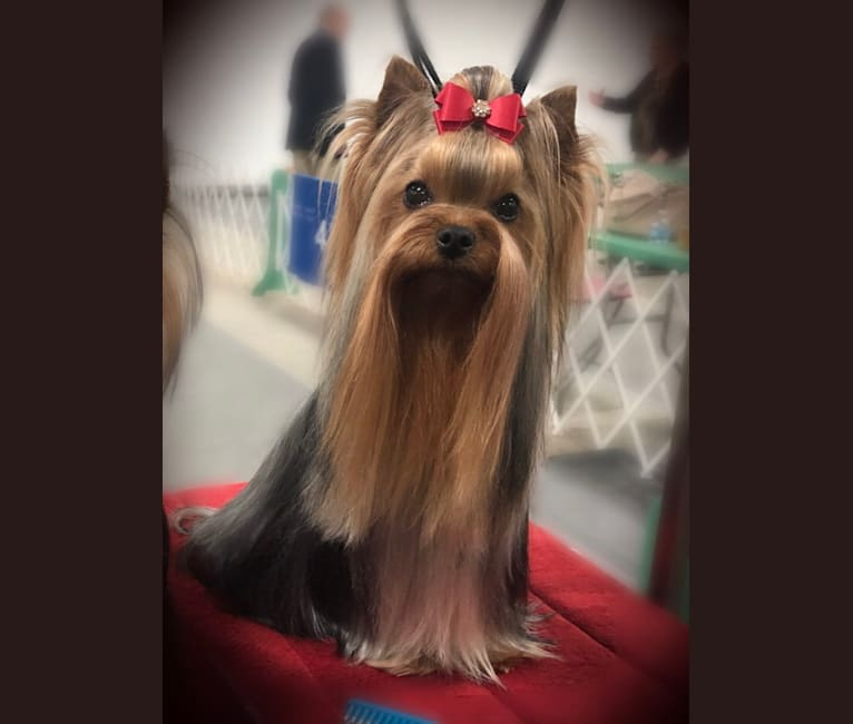 Photo of Lainey, a Yorkshire Terrier  in Elkhart, IN, USA