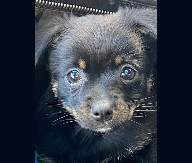 Photo of Yukio, a Pomeranian, Chihuahua, and Mixed mix in Tacoma, Washington, USA