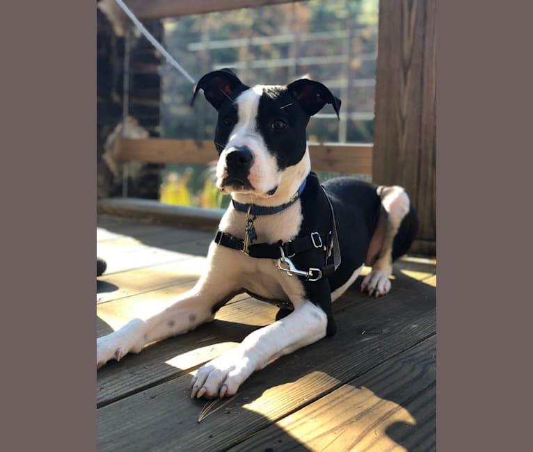 Photo of Jax, an American Pit Bull Terrier, Mastiff, and American Bulldog mix in Atlanta, Georgia, USA