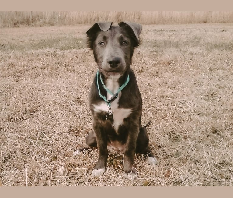 """Photo of """"Camber Tilt for Speed"""" aka Cam, an American Pit Bull Terrier, Pembroke Welsh Corgi, and Dachshund mix in Jackson, Georgia, USA"""