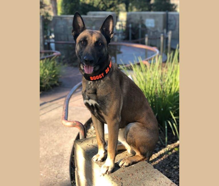 Photo of Boogy, a Belgian Malinois and German Shepherd Dog mix in Fresno, CA, USA