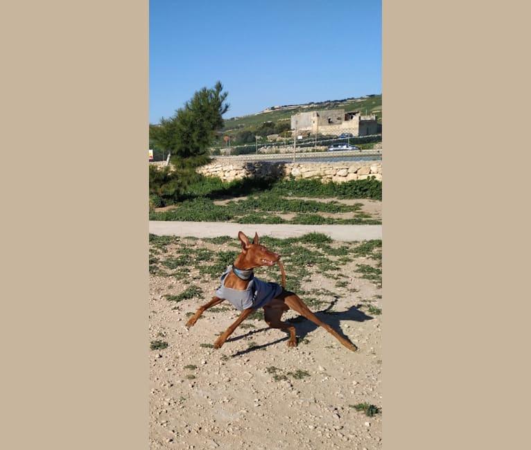 Photo of Rusty, a Pharaoh Hound  in Xaghra, Malta