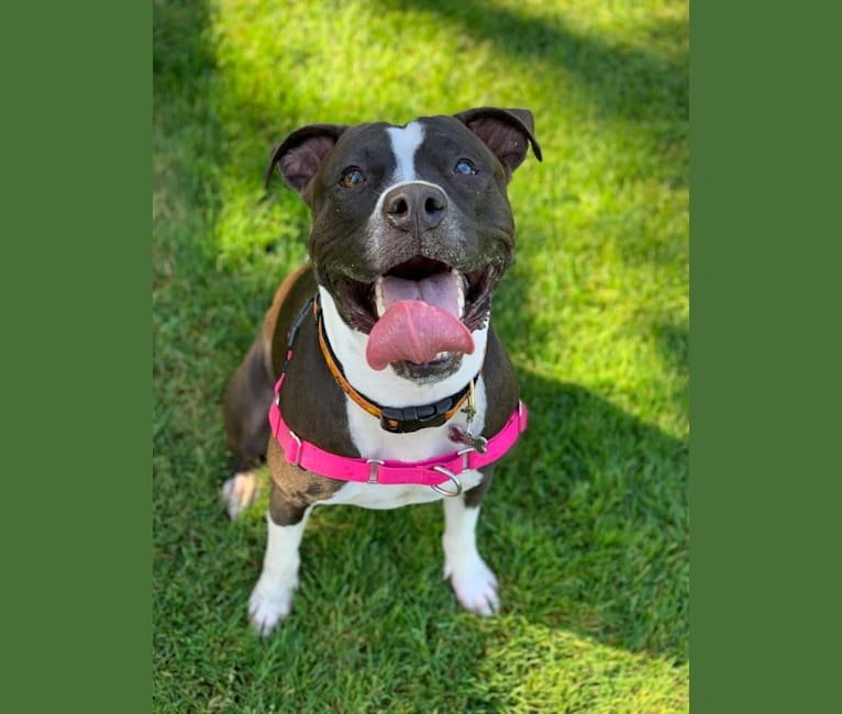 Photo of Maxxy, an American Bulldog and American Staffordshire Terrier mix in Salem, Massachusetts, USA