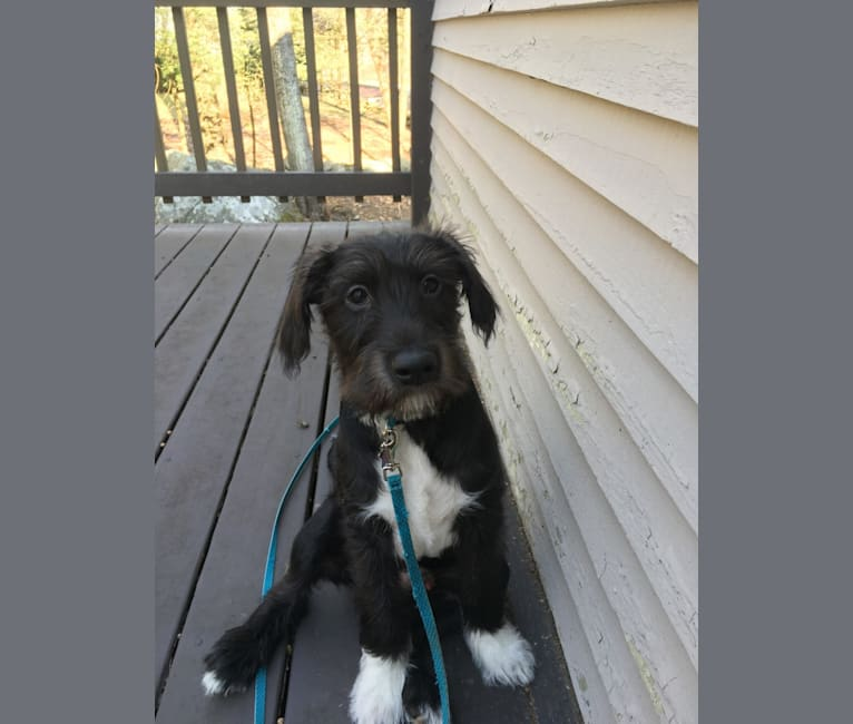 Photo of Hugo, a Labrador Retriever, Poodle (Small), American Pit Bull Terrier, Chihuahua, American Bulldog, and Mixed mix in Tennessee, USA