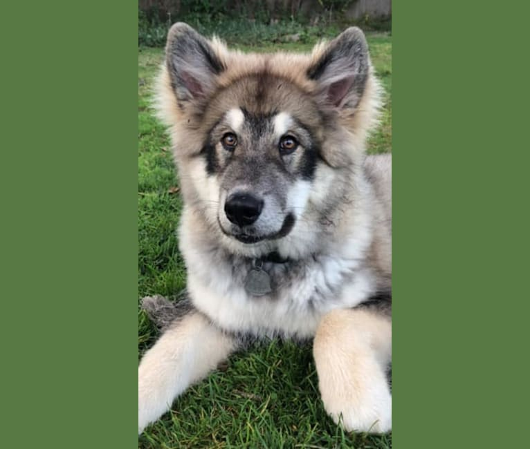 Photo of Appa, an Alaskan Malamute  in Pennsylvania, USA