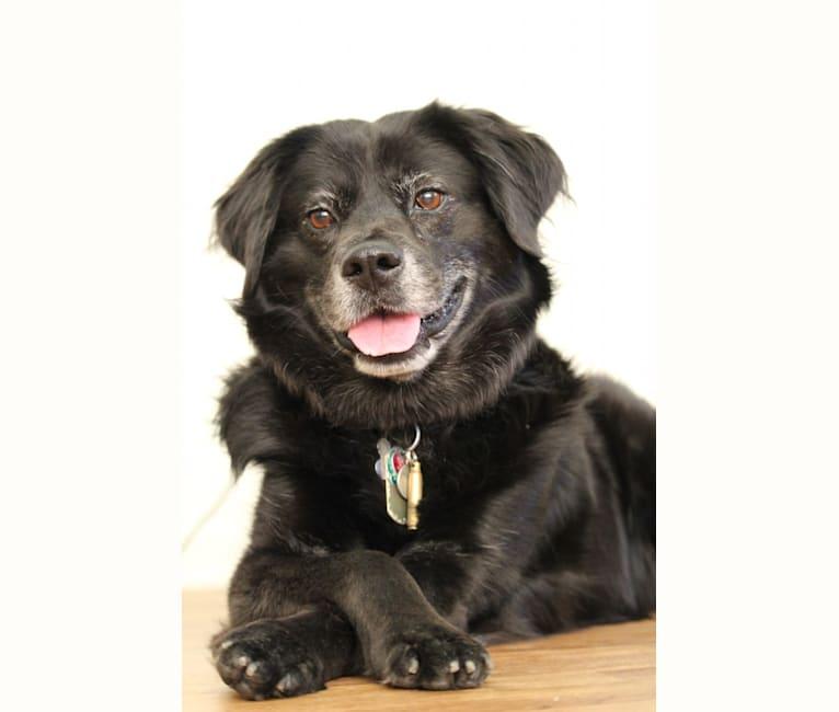 Photo of Ozzy, a Rottweiler, Labrador Retriever, Chow Chow, and Mixed mix in Humacao, Humacao, Puerto Rico