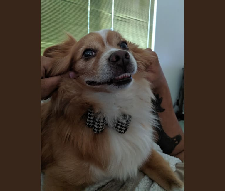 Photo of Sean, a Pomeranian, Chihuahua, and Mixed mix in Vacaville, California, USA
