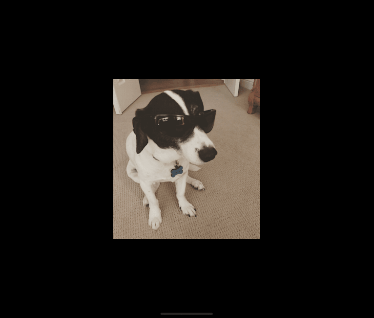 Photo of Snoop, a Chihuahua, Russell-type Terrier, and Mixed mix in Folsom, California, USA