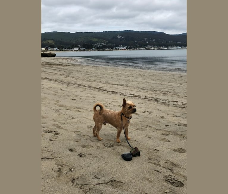 Photo of Jimmie (James George), a Biewer Terrier, Chihuahua, Yorkshire Terrier, Pomeranian, and Mixed mix in Saratoga, California, USA