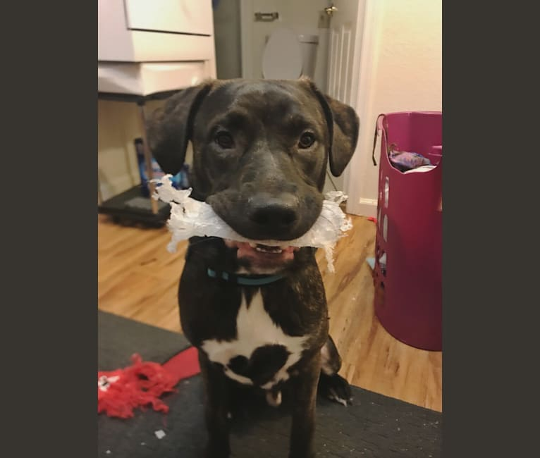 Photo of Zero, an American Pit Bull Terrier, American Staffordshire Terrier, and Mixed mix in Vacaville, California, USA