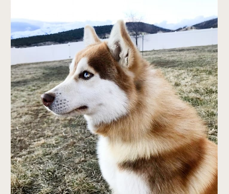 Photo of Kuzco, a Pomsky