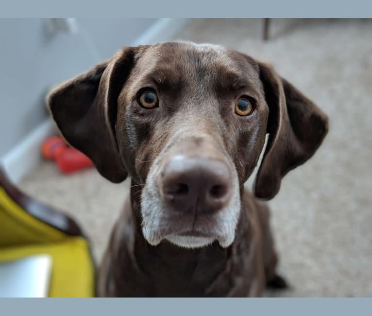 Photo of Ruben, a Weimaraner, Labrador Retriever, and Mixed mix in Fairfield, Connecticut, USA