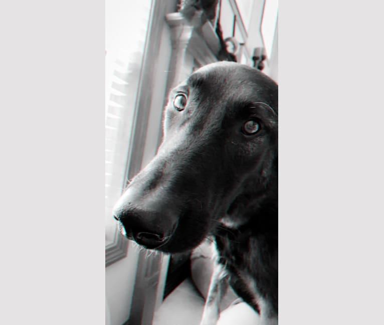 Photo of Oso, a Belgian Malinois and German Shepherd Dog mix in Dublin, Ohio, USA