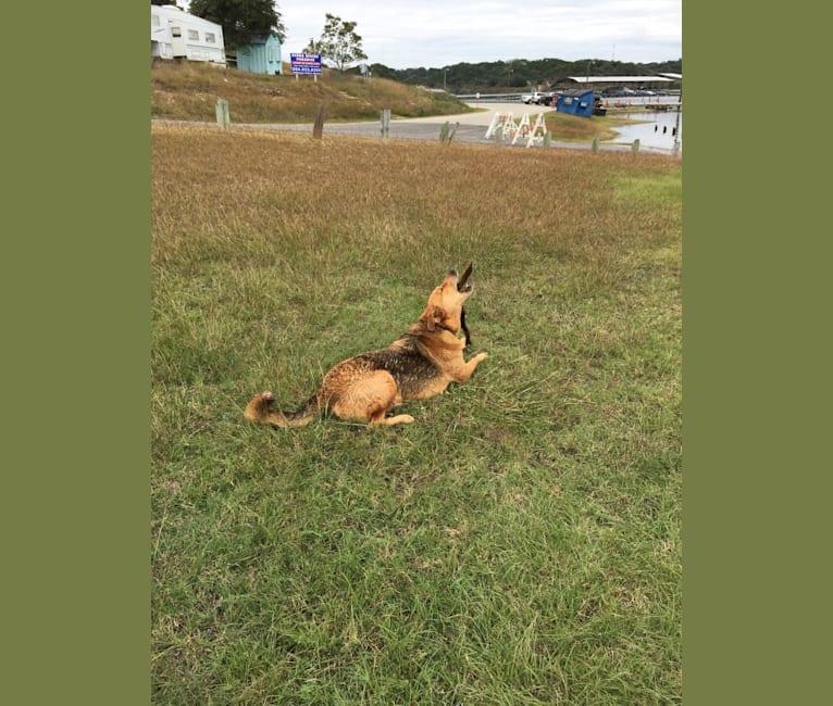 Photo of Rambo, a Labrador Retriever, Golden Retriever, Chow Chow, German Shepherd Dog, and Mixed mix in Belton, Texas, USA