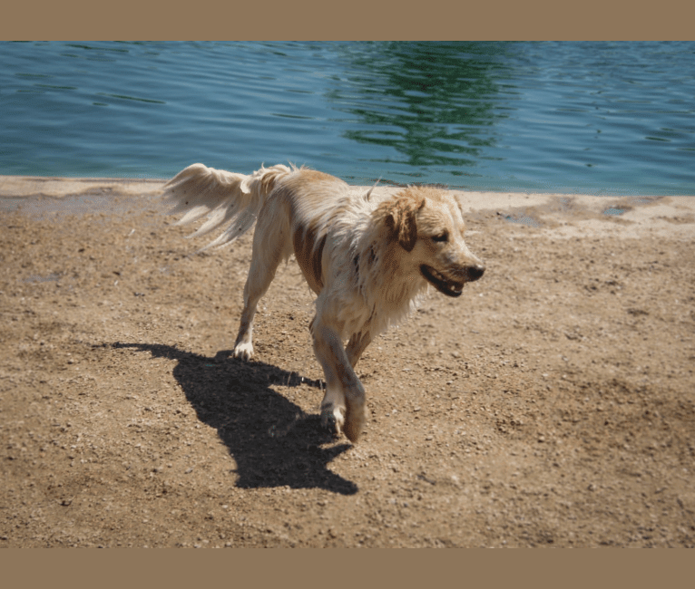 Photo of Wendy, a Great Pyrenees, American Pit Bull Terrier, Labrador Retriever, Chow Chow, German Shepherd Dog, and Mixed mix in Conroe, Texas, USA