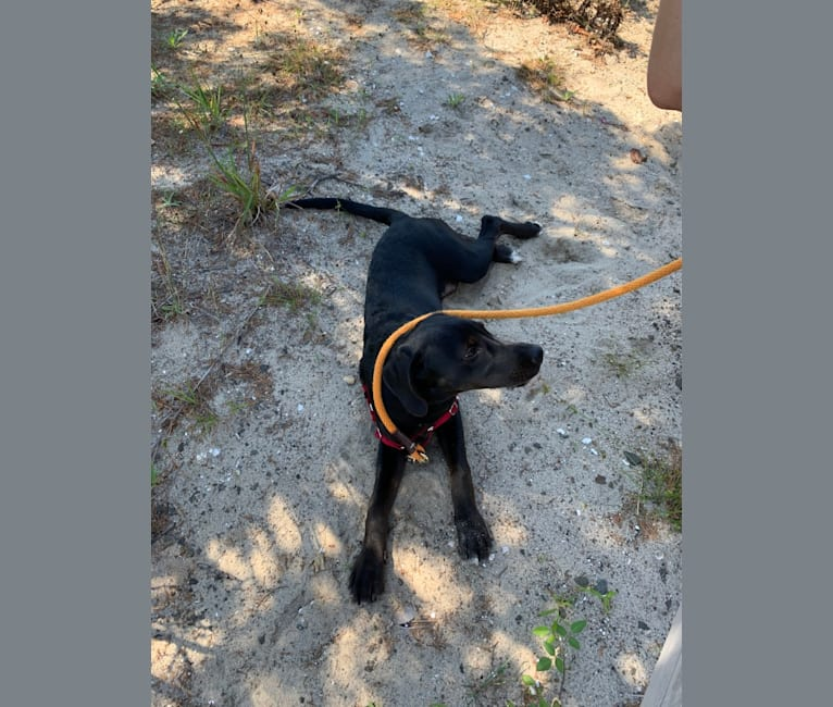Photo of Ollie Milazzo, an American Foxhound, German Shorthaired Pointer, and Labrador Retriever mix in South Carolina, USA