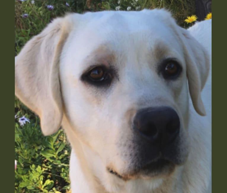 Photo of Prince Silver of Tender Oak Ranch, a Labrador Retriever
