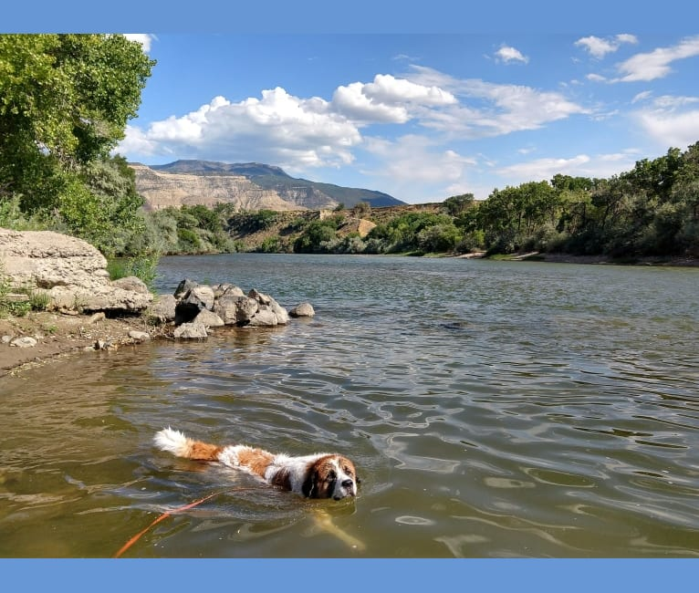 Photo of Darby, a Great Pyrenees and Saint Bernard mix in Grand Junction, Colorado, USA