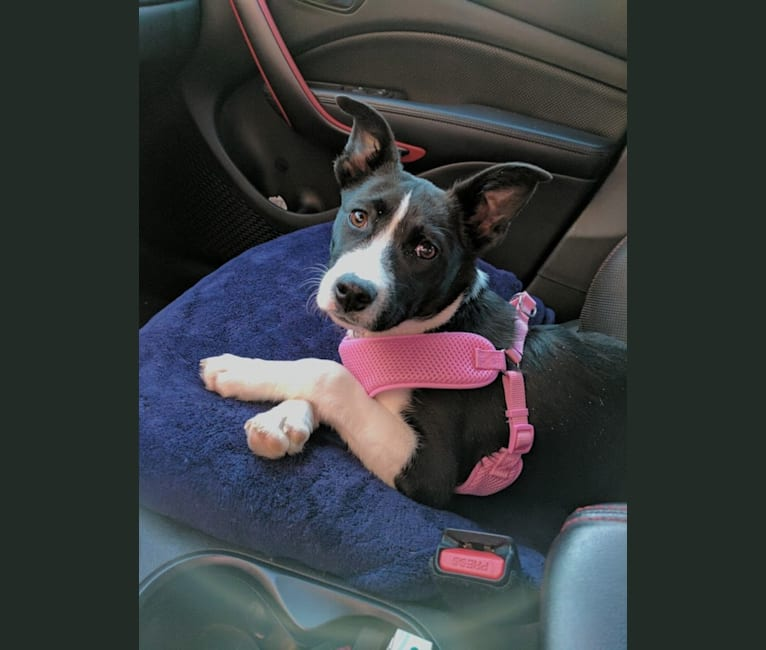 Photo of Leah, a Boxer and Siberian Husky mix in Illinois, USA