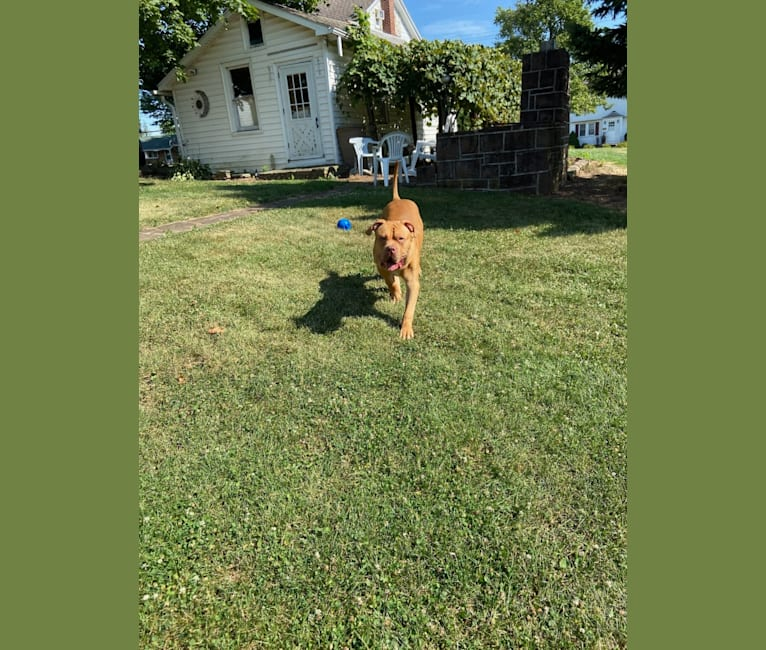 Photo of Simba, an American Pit Bull Terrier and American Bulldog mix in Yonkers, New York, USA