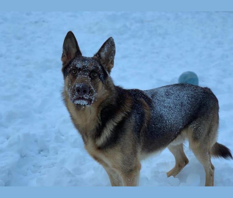Photo of BoJack, a German Shepherd Dog  in Springfield, TN, USA