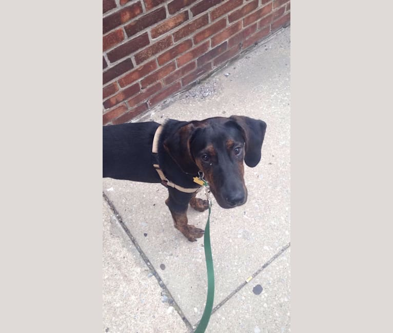 Photo of Remington, a Treeing Walker Coonhound and American Pit Bull Terrier mix in West Virginia, USA