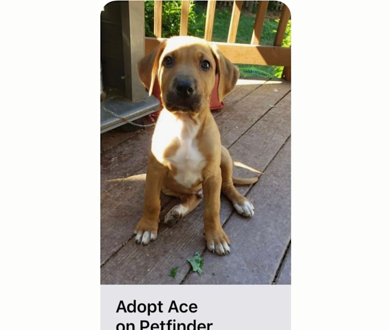 Photo of Ace, a German Shepherd Dog, American Pit Bull Terrier, Australian Cattle Dog, Chow Chow, Labrador Retriever, and Mixed mix in Charlotte, North Carolina, USA