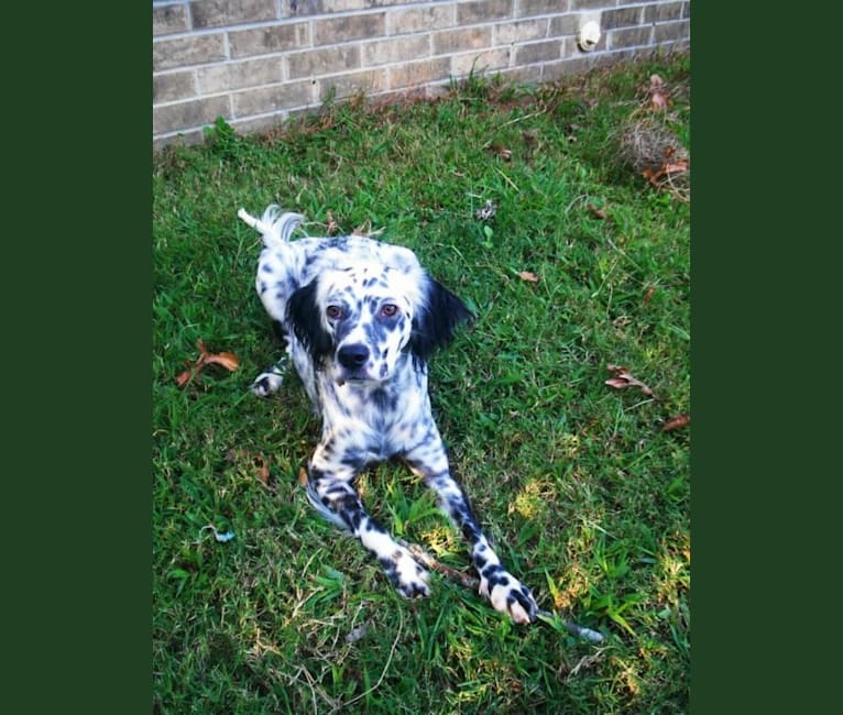 Photo of Speckles, a Llewellin Setter