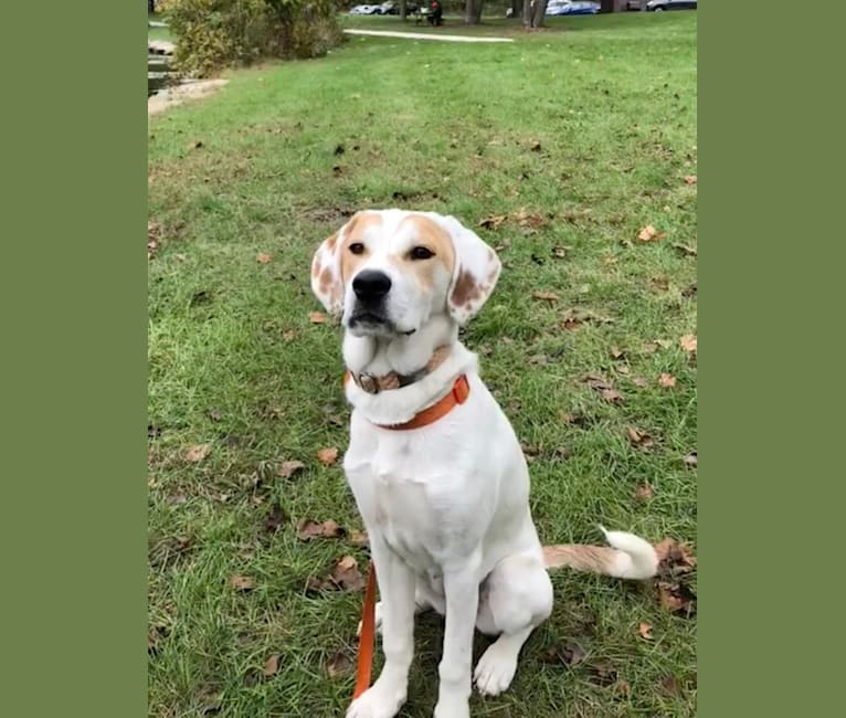 Photo of Fiona, a Great Pyrenees, American Pit Bull Terrier, Labrador Retriever, Basset Hound, Australian Cattle Dog, and Mixed mix