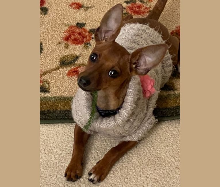 Photo of Stellaluna, a Miniature Pinscher, Dachshund, Chihuahua, and Rat Terrier mix in Texas, USA