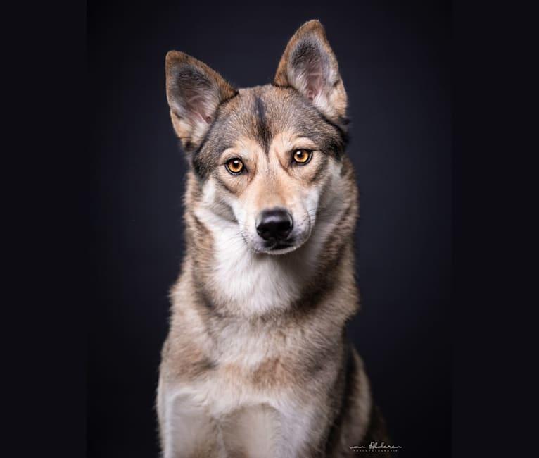 Photo of Abby, a Siberian Husky, Saarloos Wolfdog, and German Shepherd Dog mix in Neuenhaus, Duitsland