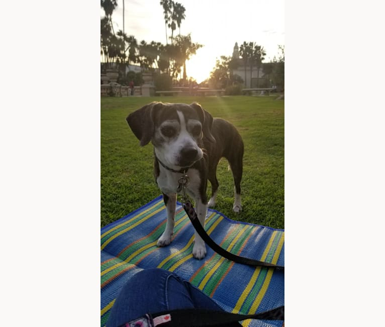 Photo of Anna, a Beagle and Boston Terrier mix