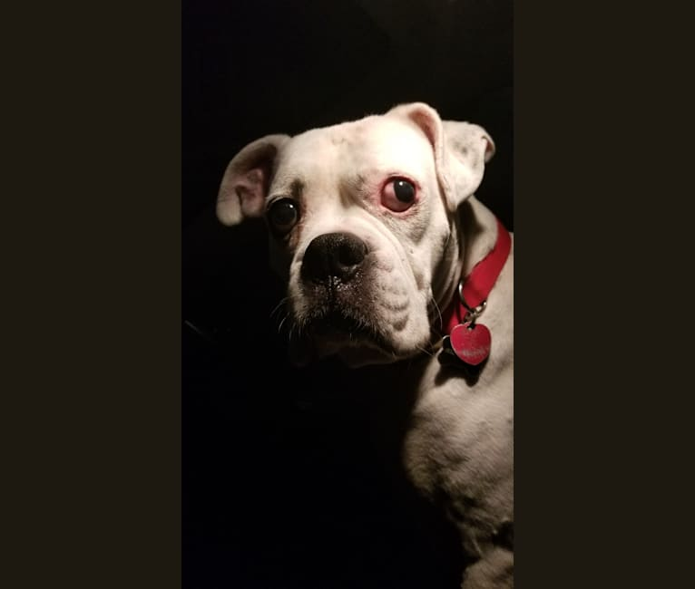 Photo of Diesel, a Boxer  in San Leon, Texas, USA