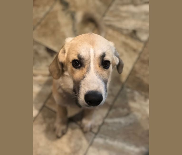 Photo of Maverick, a Great Pyrenees, Australian Shepherd, and German Shepherd Dog mix in Denton, Texas, USA