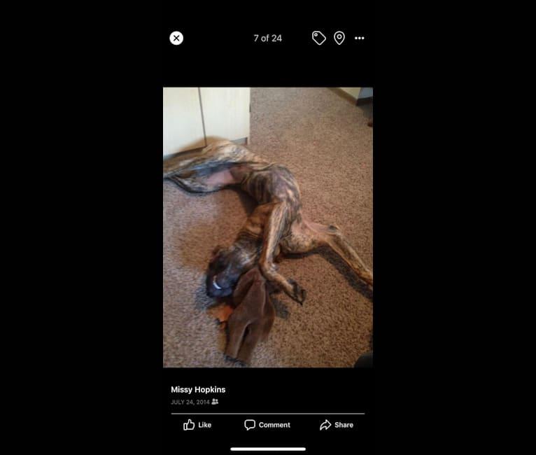 Photo of Silas, a Mastiff, Great Dane, and Labrador Retriever mix in El Dorado, Kansas, USA