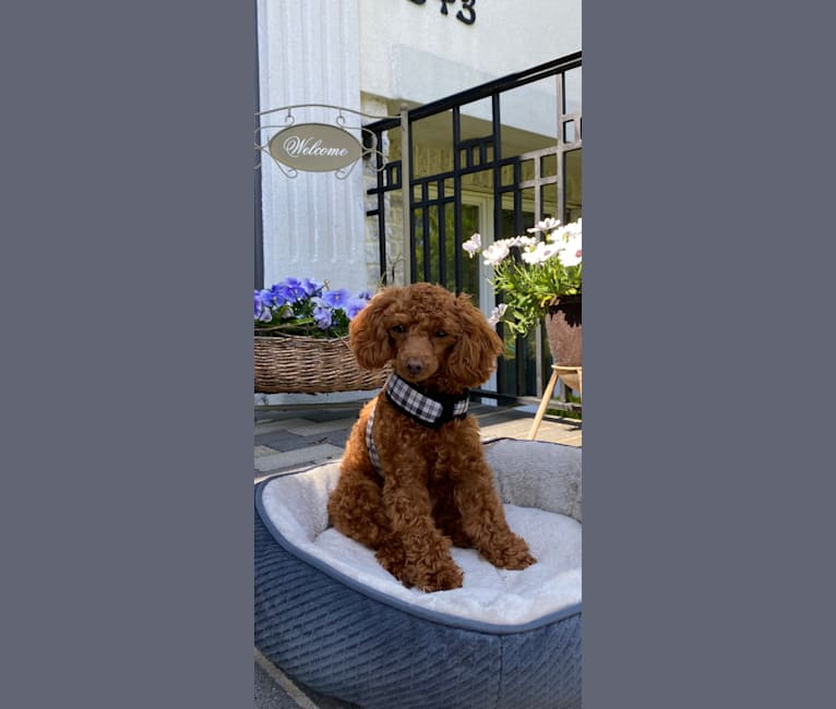 Photo of Layla, a Poodle (Small)  in China
