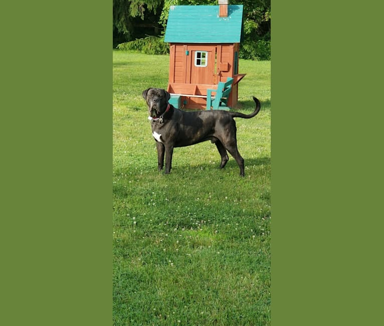 Photo of Bear, a Cane Corso  in Estonia