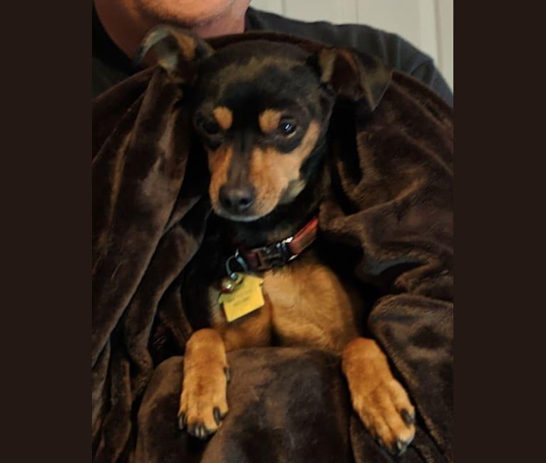 Photo of Dante, a Miniature Pinscher and Chihuahua mix in Glendale, Arizona, USA