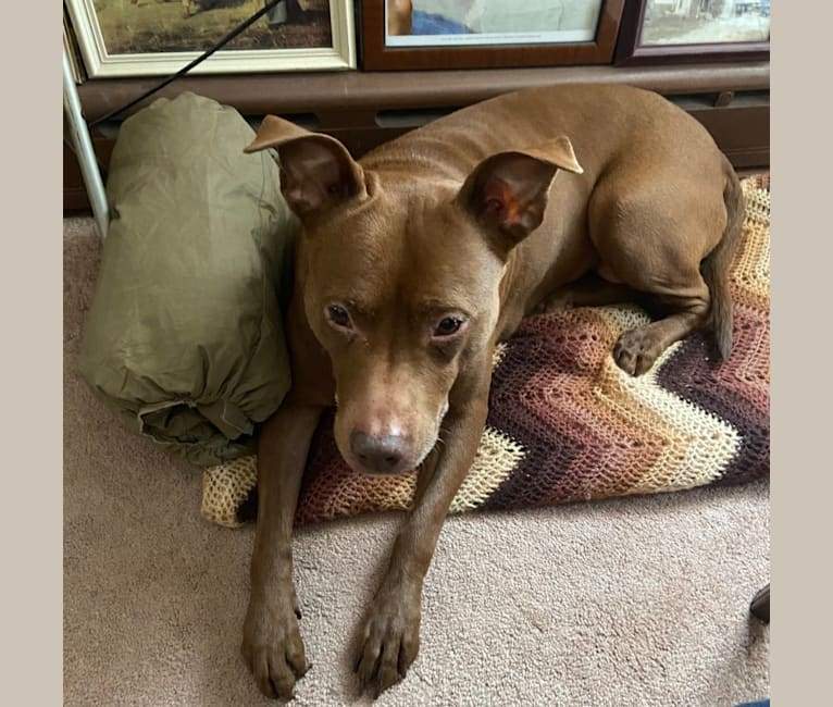 Photo of Callie, an American Pit Bull Terrier  in South Plainfield, New Jersey, USA
