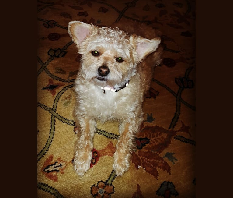 Photo of Tiny Tina, a Poodle (Small), Chihuahua, and Mixed mix in Alabama, USA