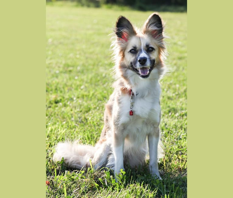 Photo of Siren, an American Eskimo Dog, American Pit Bull Terrier, Cocker Spaniel, German Shepherd Dog, and Mixed mix