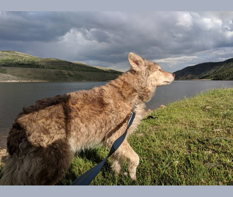 Photo of Nanuk, a German Shepherd Dog, Australian Shepherd, Alaskan Malamute, and Mixed mix in South Jordan, Utah, USA
