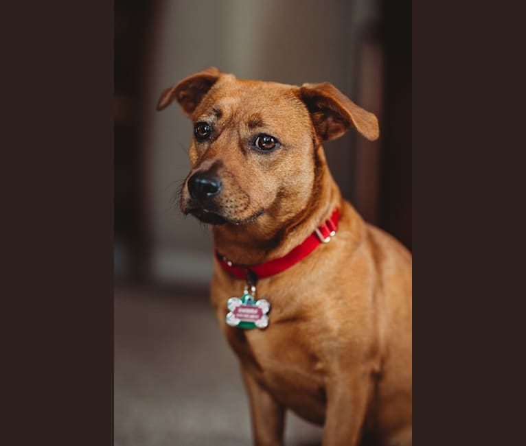 Photo of Endora, a Shih Tzu, Australian Cattle Dog, Russell-type Terrier, and American Pit Bull Terrier mix in Texas, USA