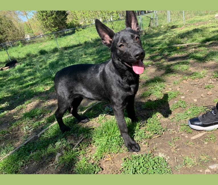 Photo of Azula, a German Shepherd Dog, American Pit Bull Terrier, and Labrador Retriever mix in Louisville, Kentucky, USA