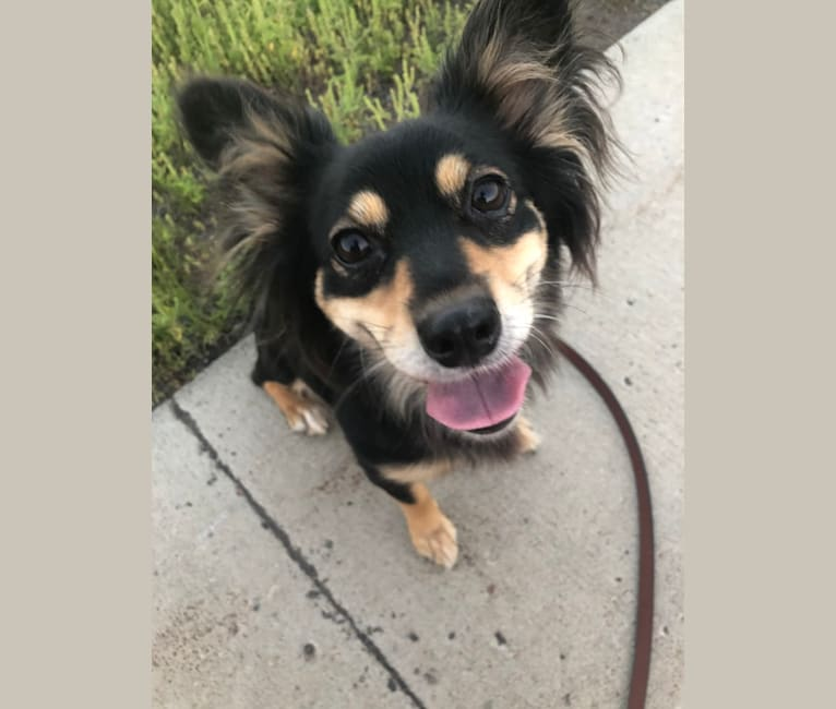 Photo of Hazel, a Chihuahua, Australian Cattle Dog, Poodle (Small), and Mixed mix in Houston, Texas, USA