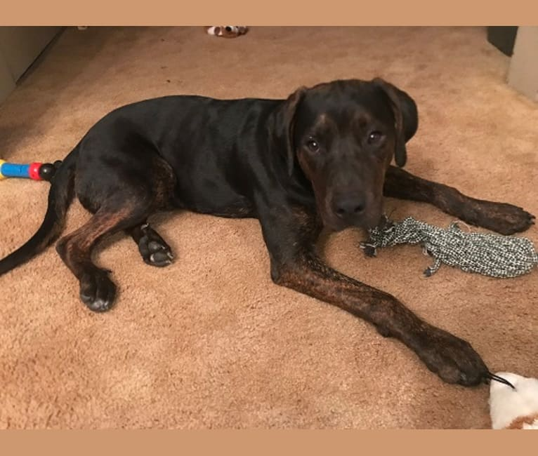 Photo of Norton, an American Staffordshire Terrier and Rottweiler mix in Ottawa, Illinois, USA