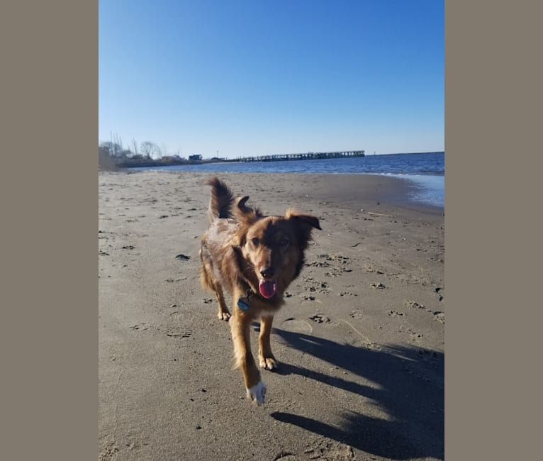 Photo of Rhu, a Chihuahua, Labrador Retriever, and Mixed mix in Atlantic Highlands, New Jersey, USA