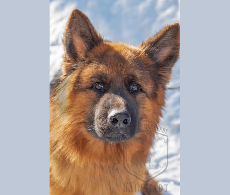 Photo of Pyro, a German Shepherd Dog  in Germany