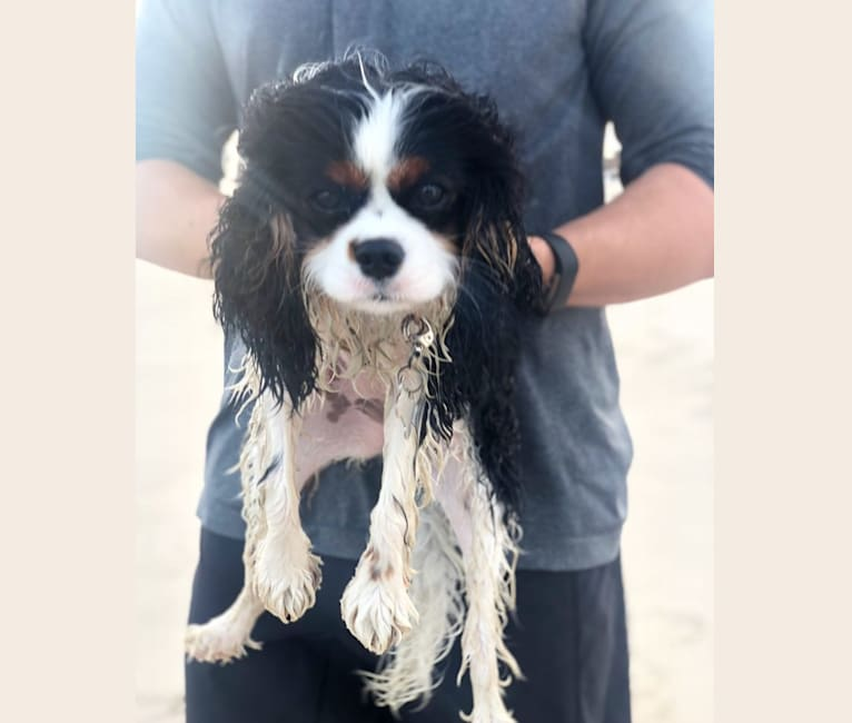 Photo of Penny, a Cavalier King Charles Spaniel  in Argos, IN, USA